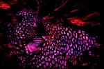 Leopard Under Strange Skies